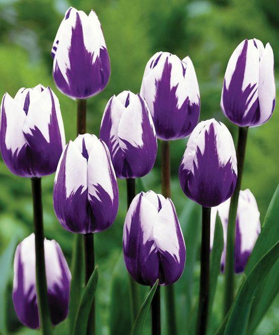 Gartengestaltung Tipps - Wie Sie Ihre Zwiebelblumen Noch Pflegen ... Tulpen Im Garten Tipps Rund Um Die Pflege Fur Die Fruhlingsblumen