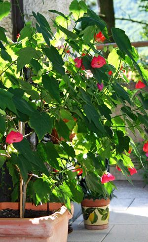 ravishing identify house plants. When bringing Abutilon  flowering maple plants indoors for the winter cut them back to 18 inches tall and keep in a sunny location