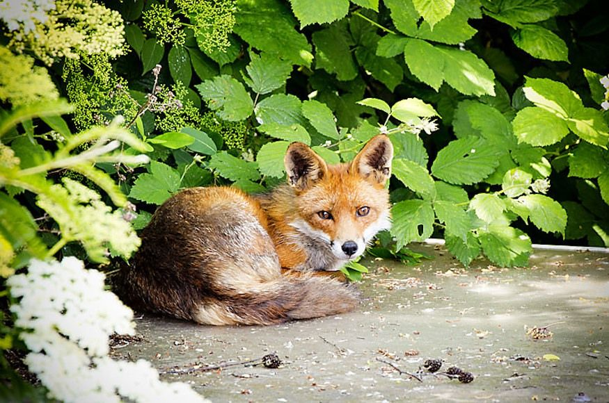 What Would London Be Like Without Foxes? (With images