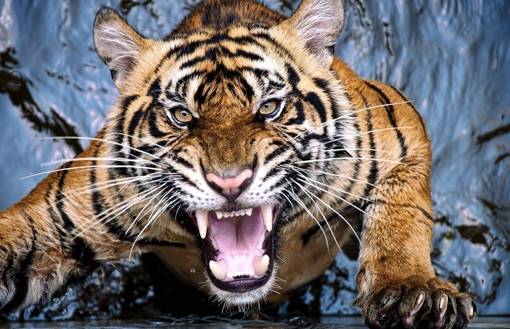 Tiger Scream Tiger Pictures Tiger Attack Angry Tiger