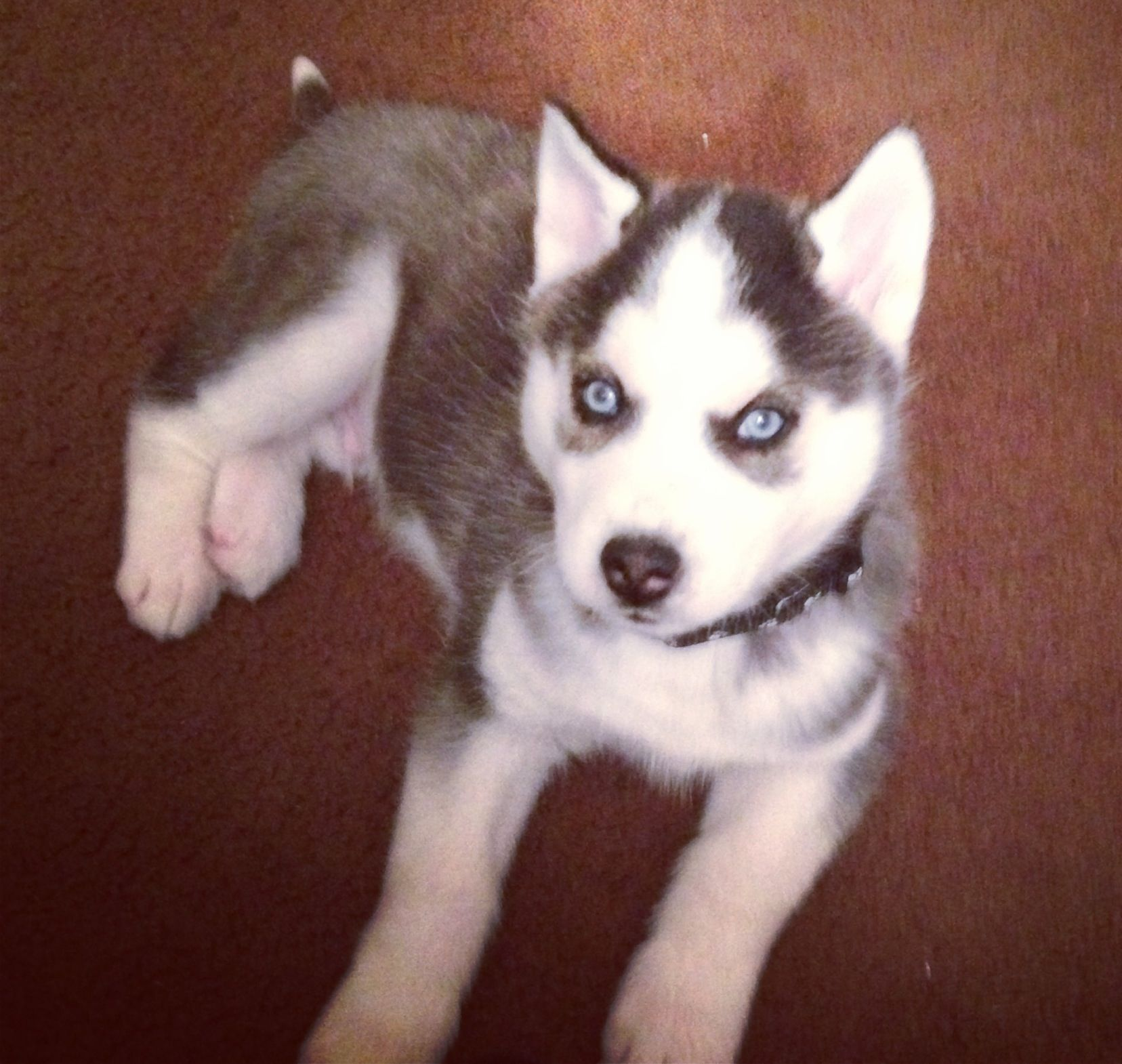 Husky Puppy Husky Puppy Wolf Dog Snow Dogs