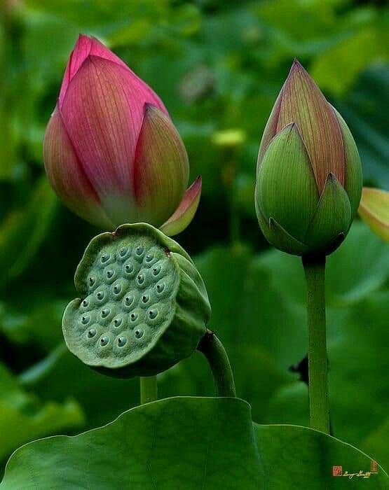 Pin by Mona Moni on Lotus   Plants. Plant photography. Seeds