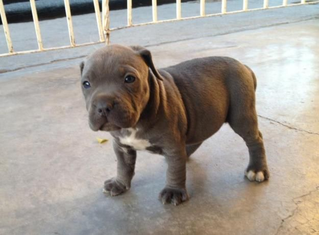 American Pit Bull Terrier Pictures, Diet, Breeding, Life