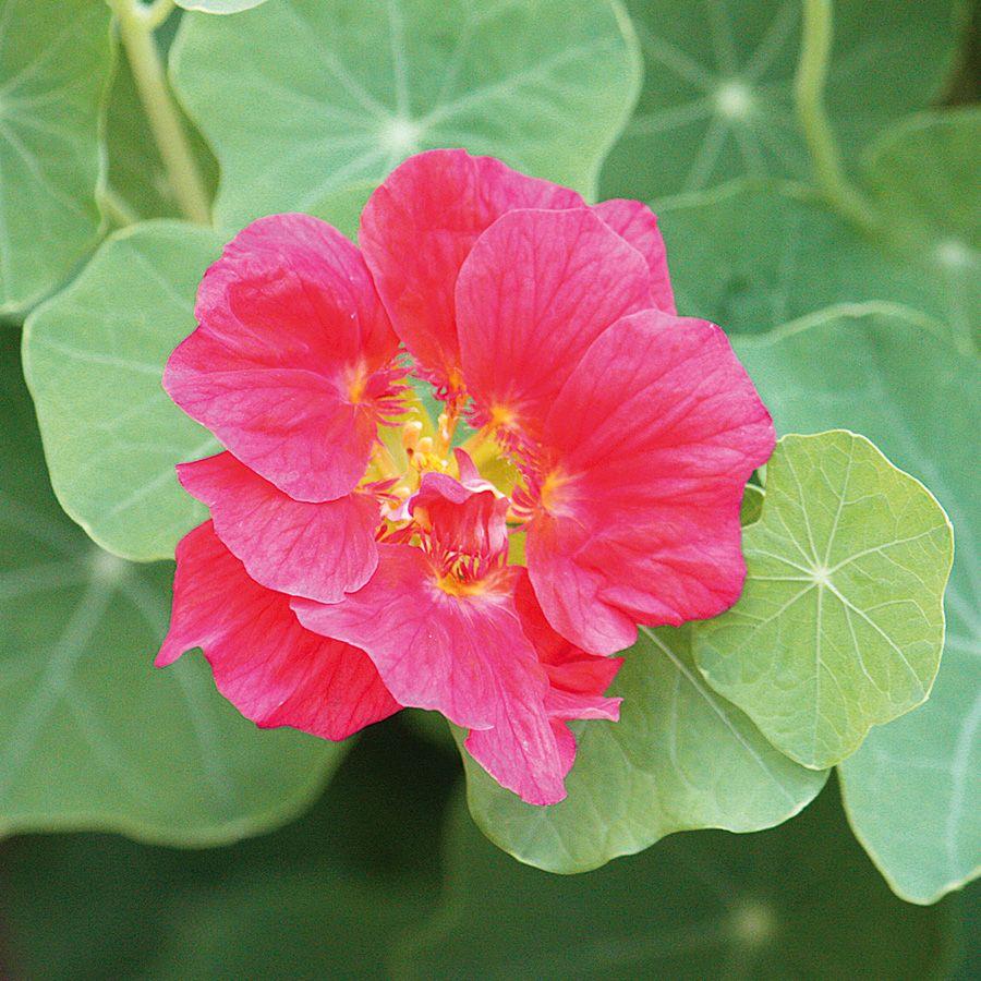 Kapuzinerkresse Whirlybird Rose