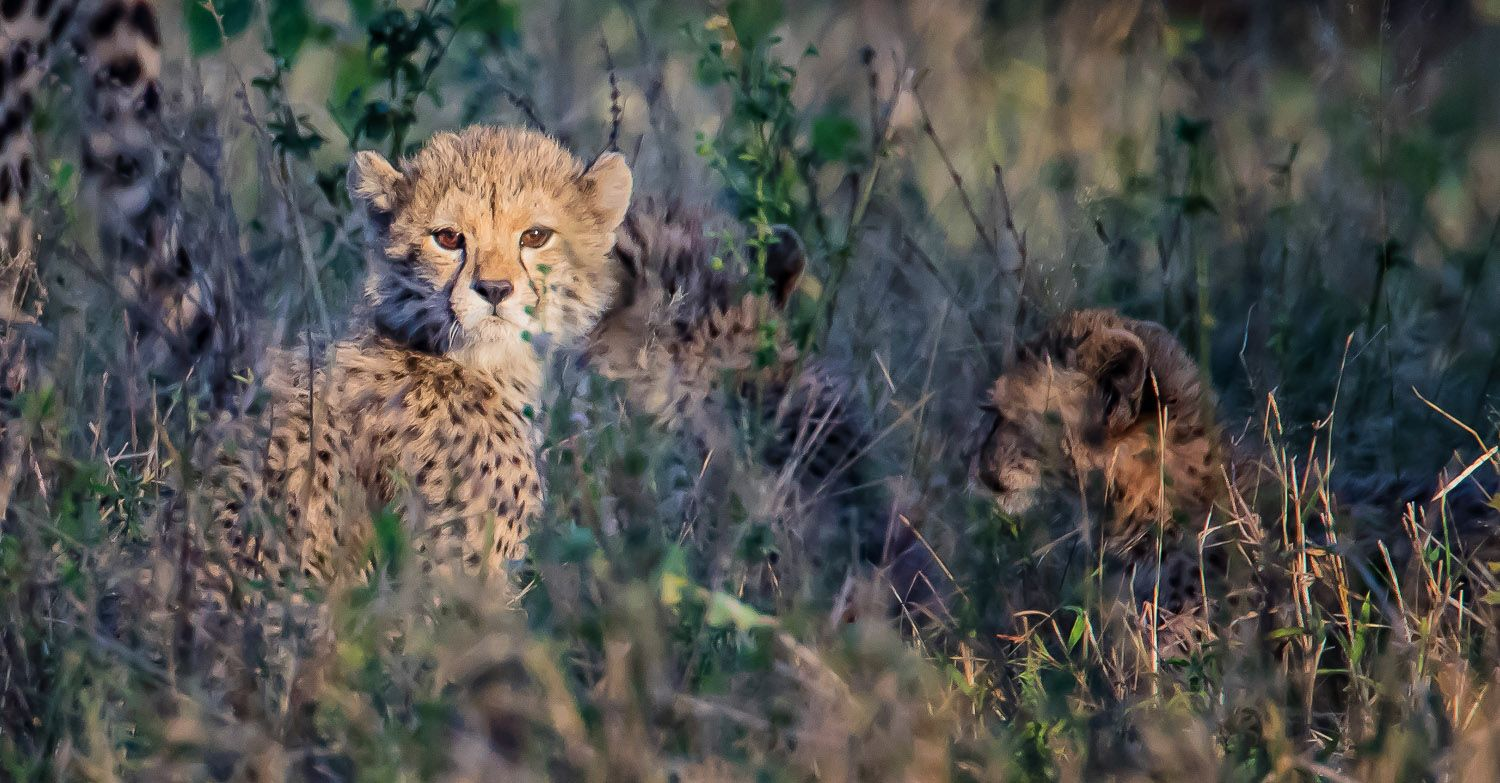 Cheetahs Of The Kruger National Park Are Not Easy To Find Kruger National Park Cheetahs National Parks