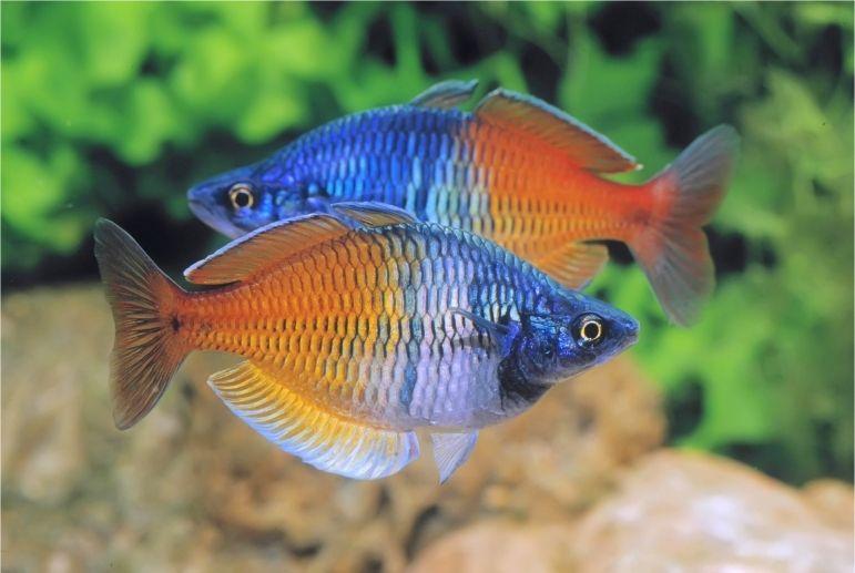 Melanotaenia Boesemani Fish Tropicalfish Saltwaterfish Freshwaterfish Aquarium Fish Rainbow Fish Tropical Fish Aquarium