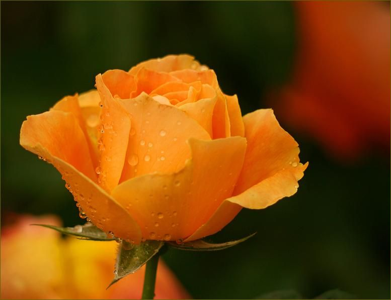 Orange Desire And Enthusiasm Flowers Beautiful Flowers Wallpapers Rose