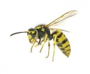 How To Get Rid Of Wasps Nest In Hedge