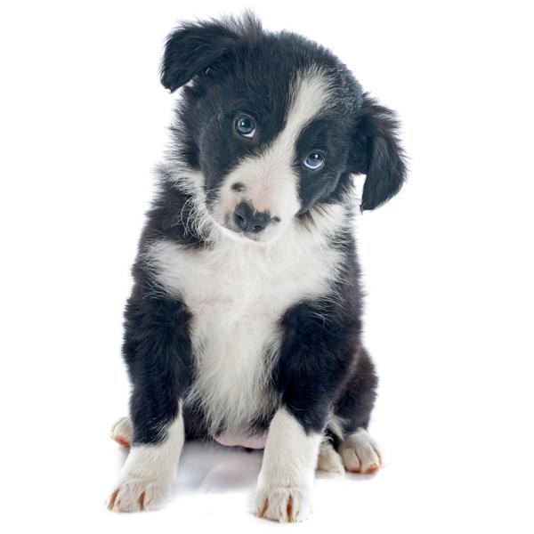 Border Collie Puppy Cute Supercute Bordercollie Colliedog