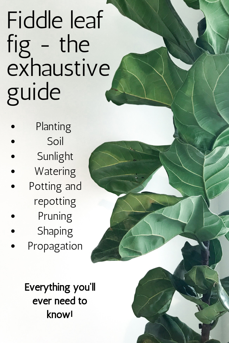 Photo of The fiddle leaf fig care guide – everything you'll ever need to know