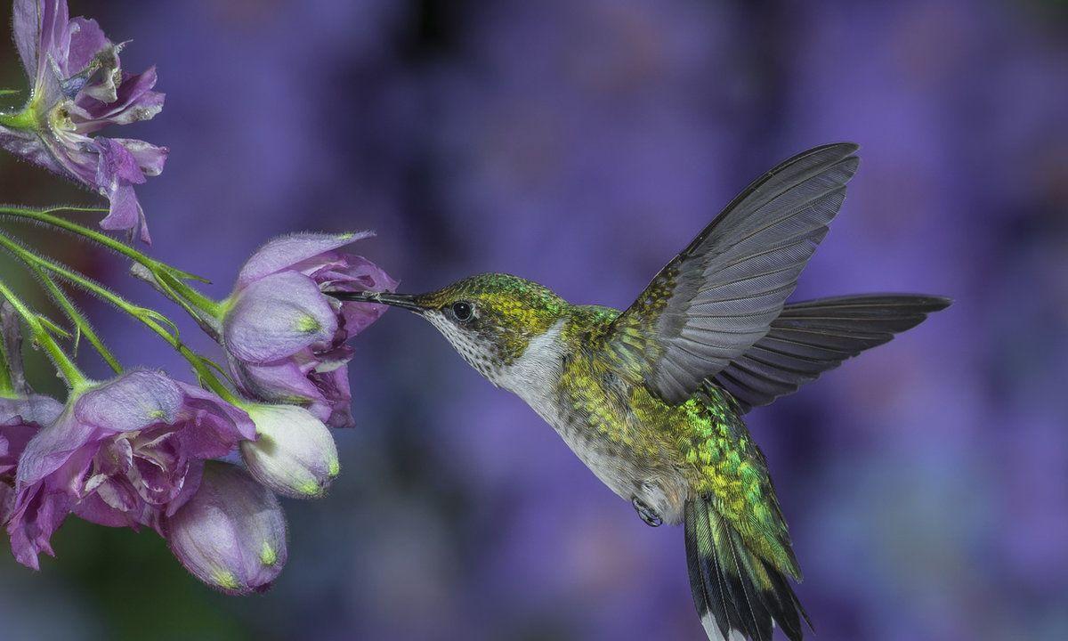 картинки с птичками колибри леща довольно