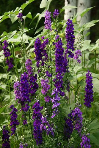 Larkspur Shades Of Blue The Secret Language Of Flowers Pinterest