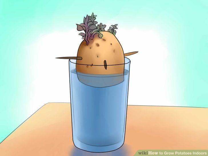 Grow potatoes indoors growing potatoes indoors growing