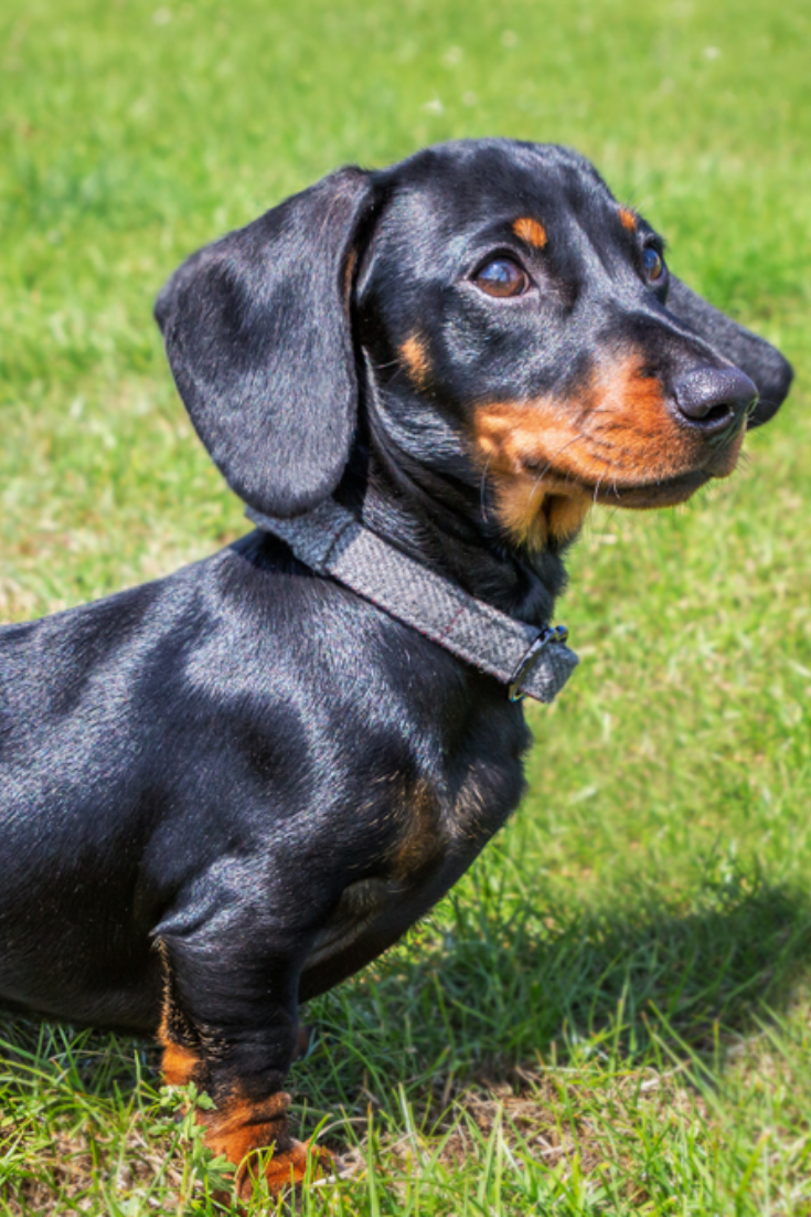 Portrait Of A Puppy Miniature Dachshund Short Haired Black And Tan With A Beautiful Shiny Glossy Coat Dachshund Puppy Miniature Dachshund Breed Dachshund Pets
