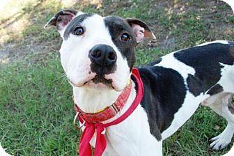 Updated 11/30/15 *Jacksonville, FL - American Pit Bull Terrier. Meet MR. BIG, a dog for adoption. http://www.adoptapet.com/pet/14331442-jacksonville-florida-american-pit-bull-terrier