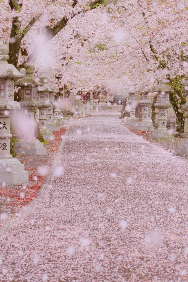 Pin By Camila On Cherry Blossoms Scenery Cherry Blossom Japan Nature