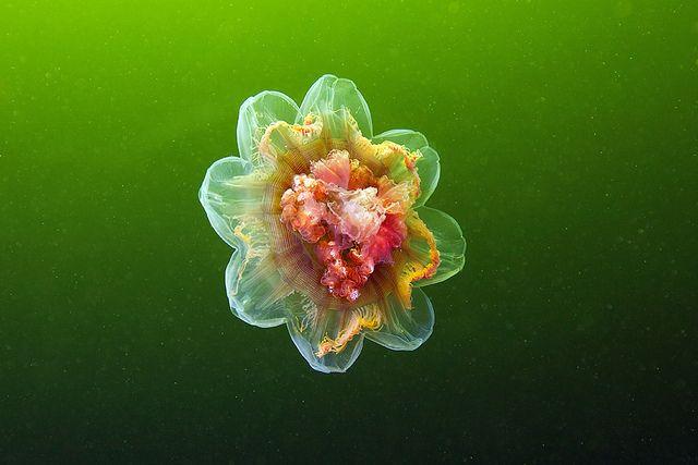 Increíbles fotografías de medusas por Alexander Semenov.