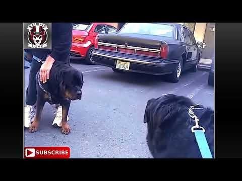 Roman Spartan Vs German Rottweiler Roman Gladiator Animals Love