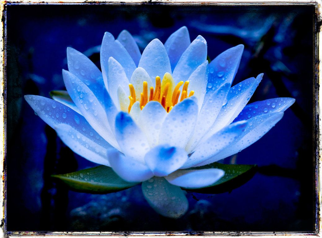 Blue lily petal flower smell mildew pretty little flowers explore blue lotus flower lotus flower tattoos and more dhlflorist Images