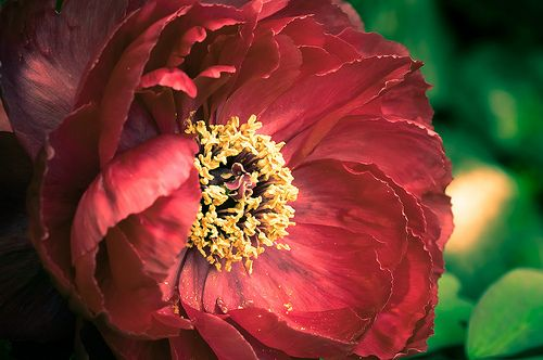 Red Peonia Flowers