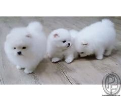 Image Detail For Poshfairytail Teacup Pomeranian Diva Price 4000 Pets Cute Fluffy Dogs Fluffy Animals Cute Animals