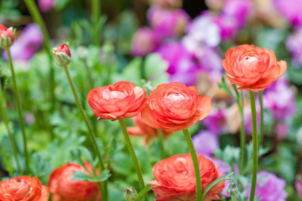 plante vivace fleurie liste ooreka jardinage de. Black Bedroom Furniture Sets. Home Design Ideas