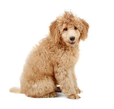 Do Poodles Have To Get Haircuts Poodle Puppy Poodle Poodle Hair