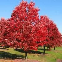 Northern Red Oak Fast Growing Shade Trees Red Oak Tree Shade Trees