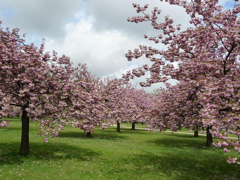 cerisiers à fleurs (prunus serrulata 'kanzan'), bosquet nord, parc
