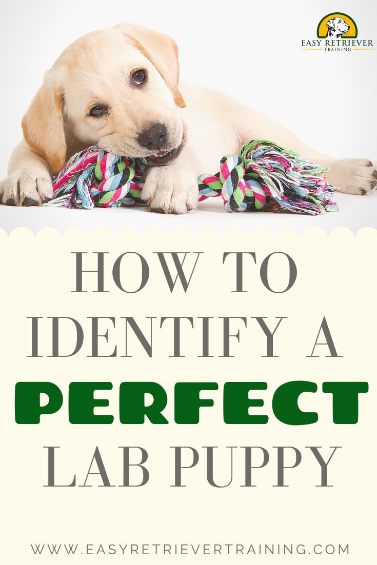 How To Identify A Good Labrador Puppy Labrador Puppy Puppies