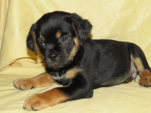 Dogs Breed Rottiebear Age Baby Miniature Rottweiler Puppies