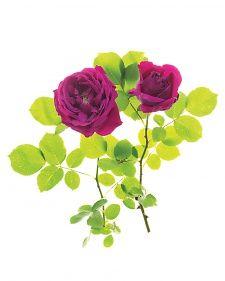 Mail-Order Roses - Martha Stewart Home & Garden