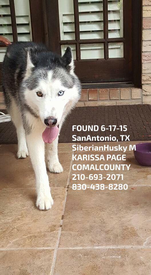 Founddog 6 17 15 Sanantonio Tx Siberianhusky M Karissa Page