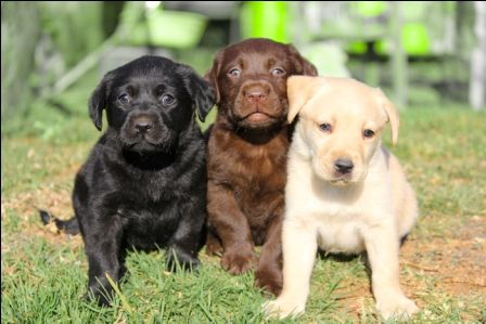 Pets SA  Ads  Dogs and Puppies Registered Labrador Retriever  : Puppy Dogs For Sale Sa
