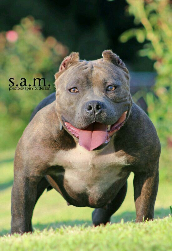 American Bully Pocket With Images Dog Breeds Dog Comics