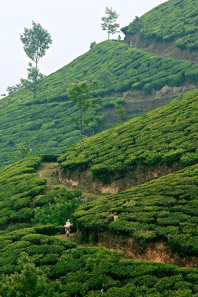 Munnar Tea Estates, Kerala Munnar, Kerala, Places to visit