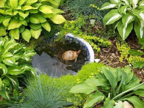 Live plants for box turtle enclosure cassandras garden for Pond friendly plants