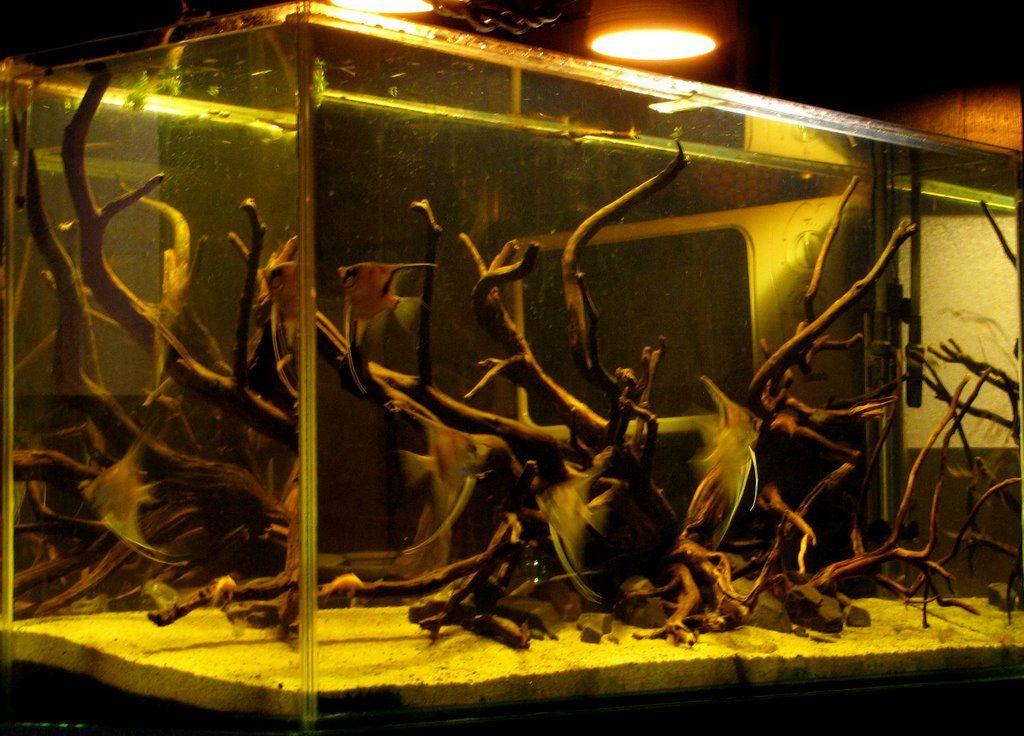 Borko S Manacapuru Setup Take Note Of The Lighting Angelfish