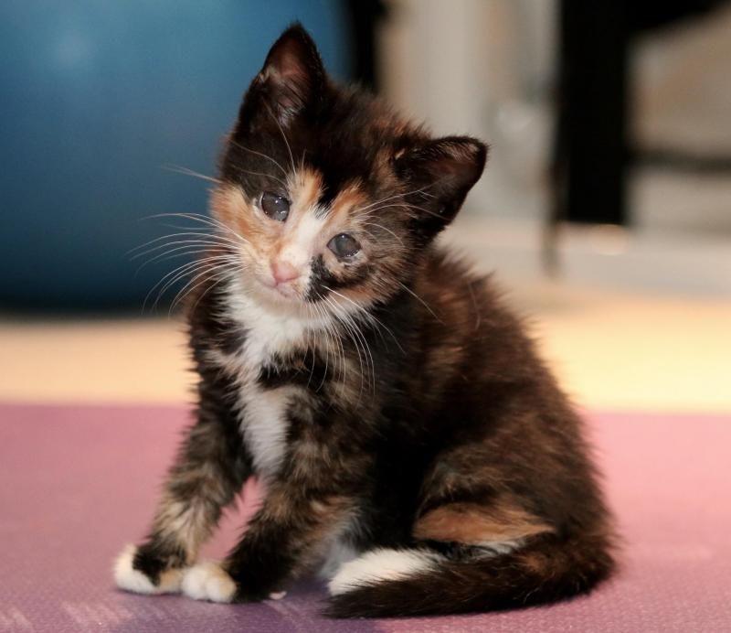 Meet+eva,+a+Petfinder+adoptable+Tortoiseshell+Cat++Old