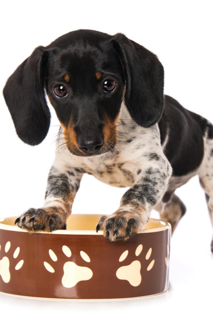 Miniature Piebald Dachshund Standing On A Food Bowl Piebald