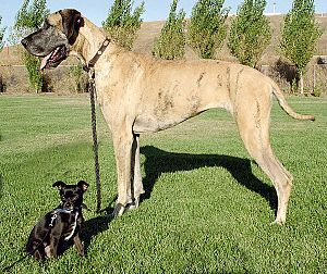Chihuahua Mix And Purebred Great Dane Dog Breeds Dogs Great