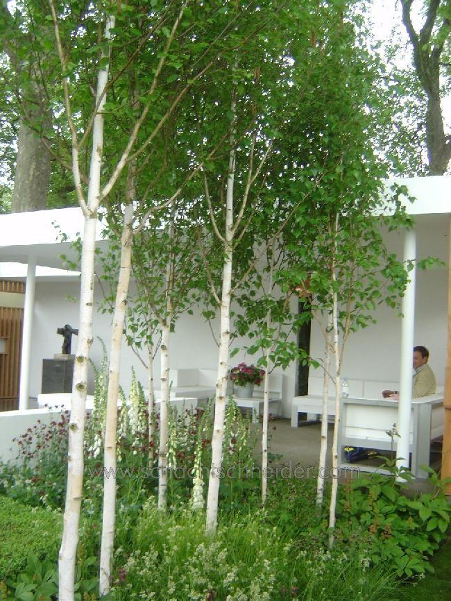 Himalaya Birke betula utilis szukaj w white garden white
