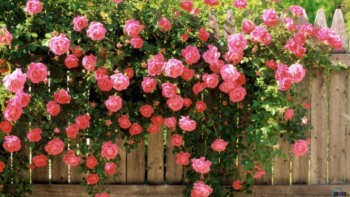 Pink climbing roses 03 flowers roses pinterest rose gardens flowers pink climbing roses mightylinksfo