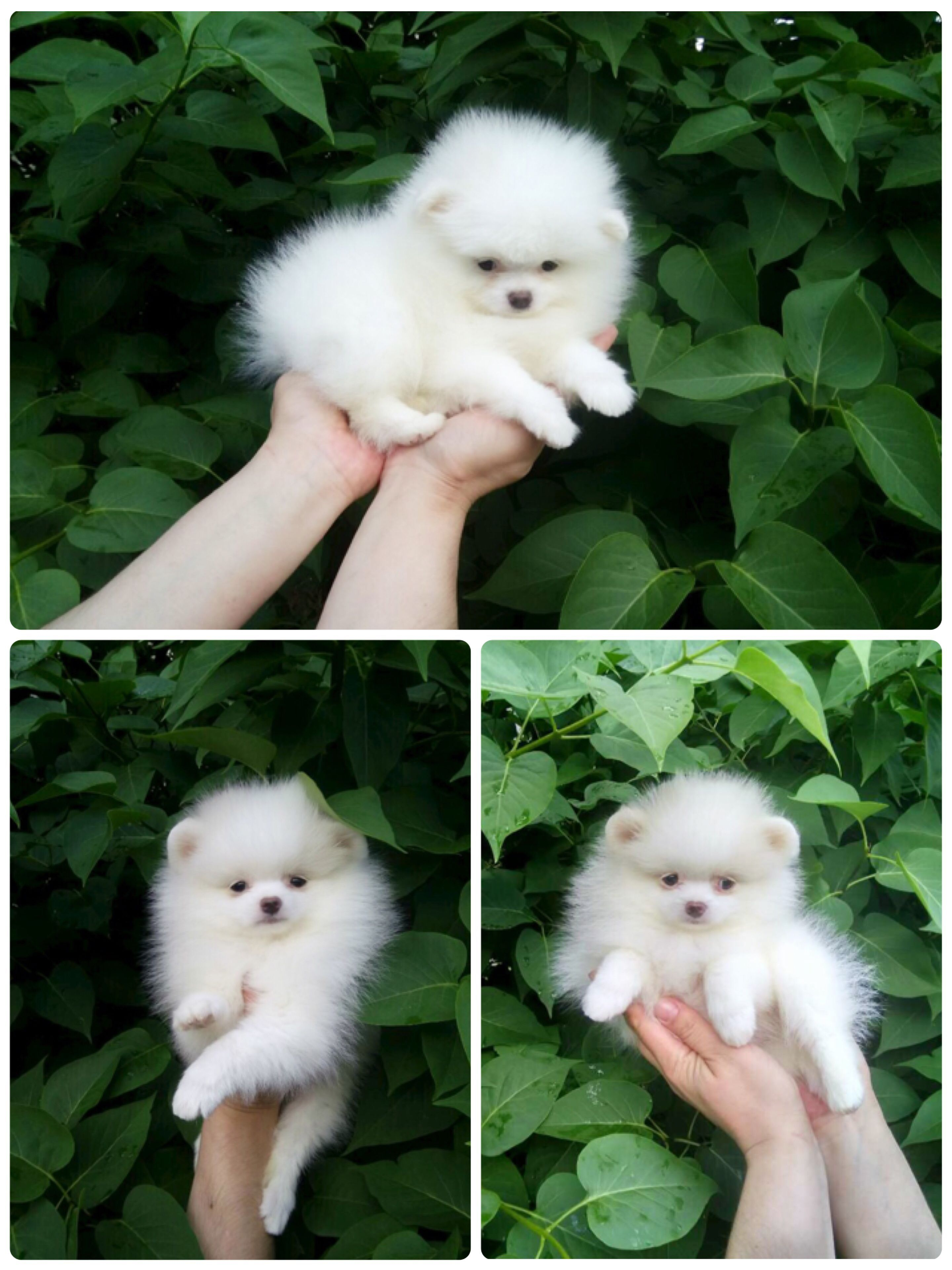 Spitzpomeranian Com 33 0 647023125 Femelle Blanche Cute Animals Beautiful Dogs Cute Dogs