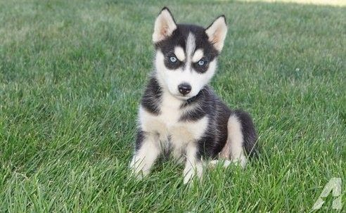 Alaskan Husky Puppies In support of Sale In Oklahoma