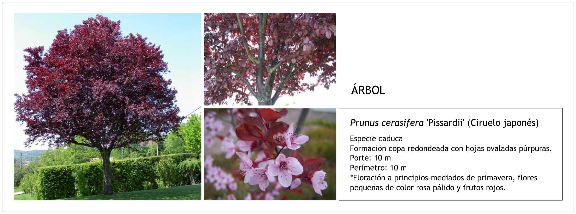 Prunus cerasifera 'Pissardii' (Ciruelo japonés)