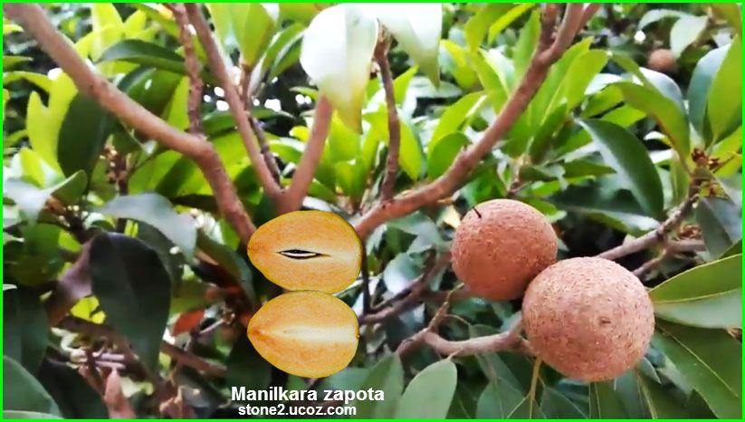 فاكهة سبوتة مالوفة او سيكو Manilkara Zapota قسم الفواكه النبات معلومات نباتية وسمكية معلوماتية Fruit