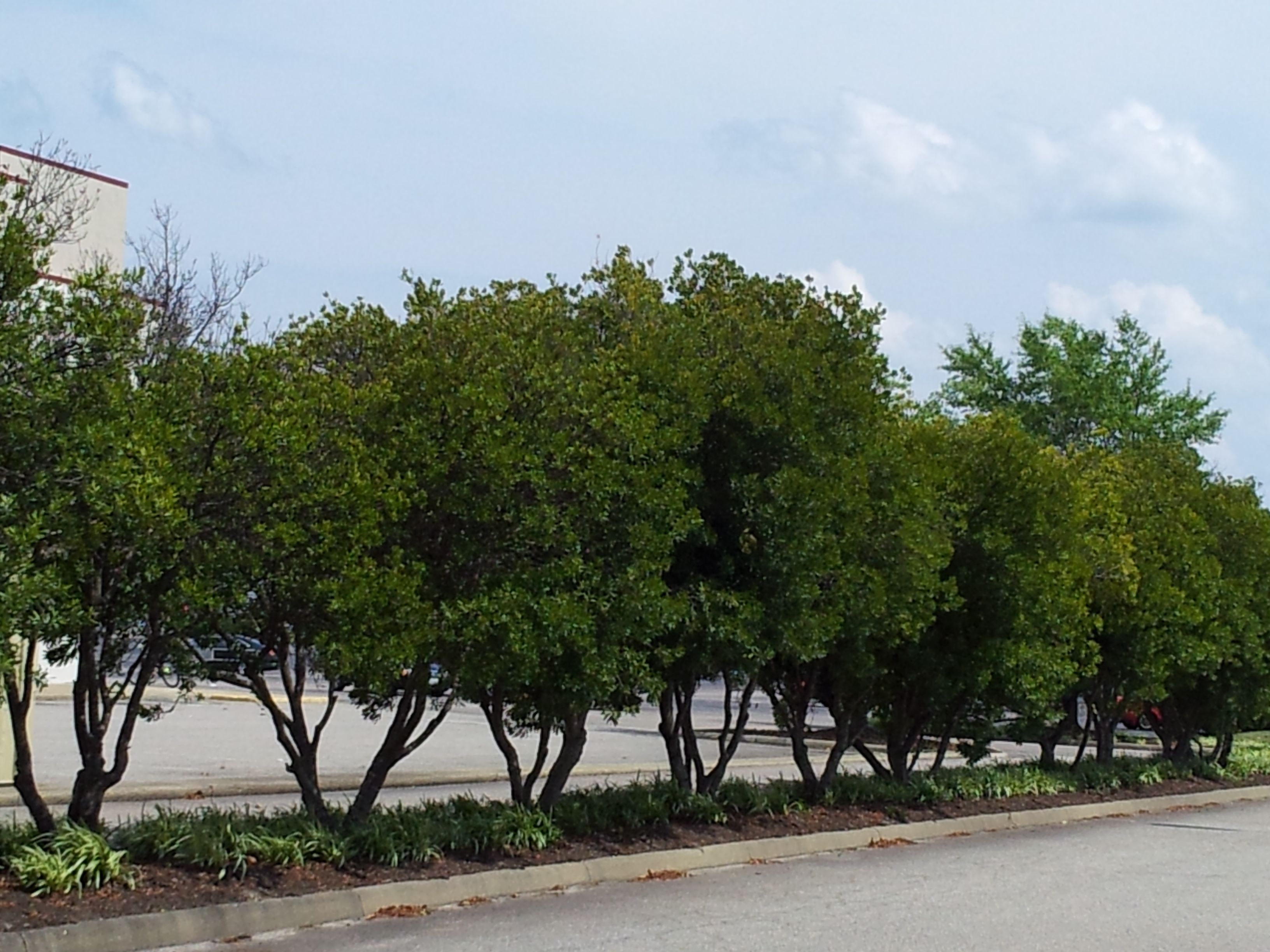wax myrtles-evergreen- used
