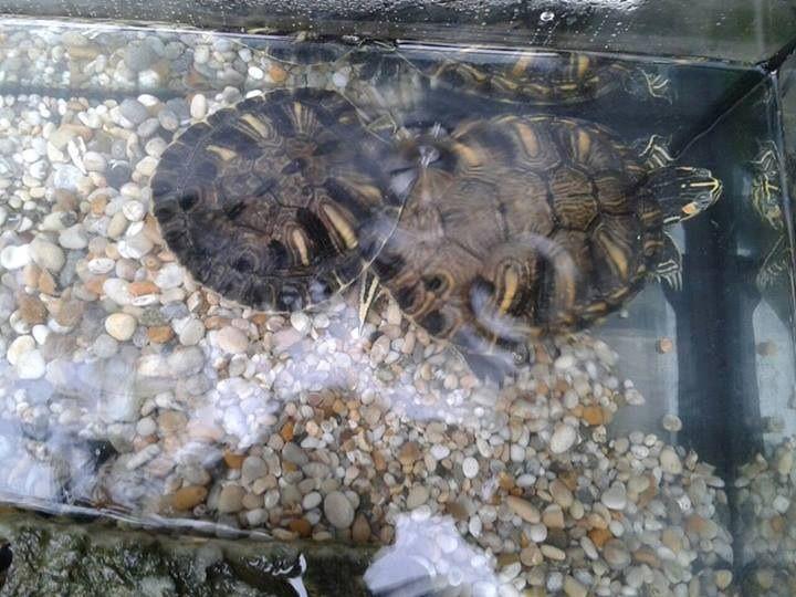 Terrapins/turtles