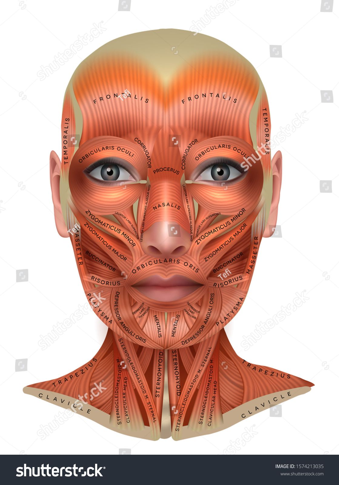 Muscles Of The Female Face And Neck Structure Physiology
